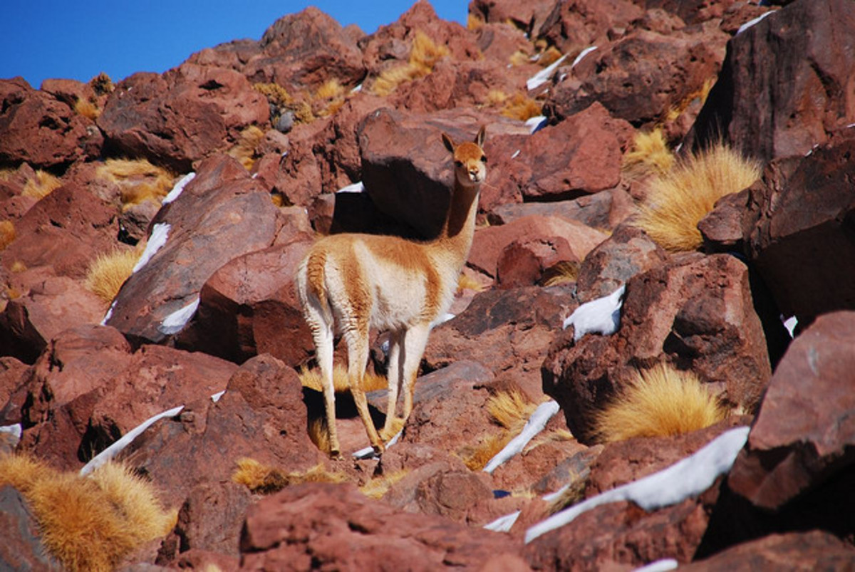 A Vicuna in its natural habitat.