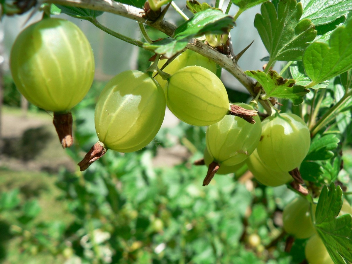 Alma powder is made from gooseberries and can be used to naturally darken your hair.