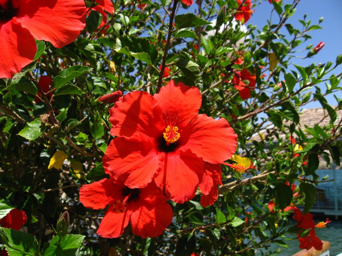 Striking Hibiscus Colouring