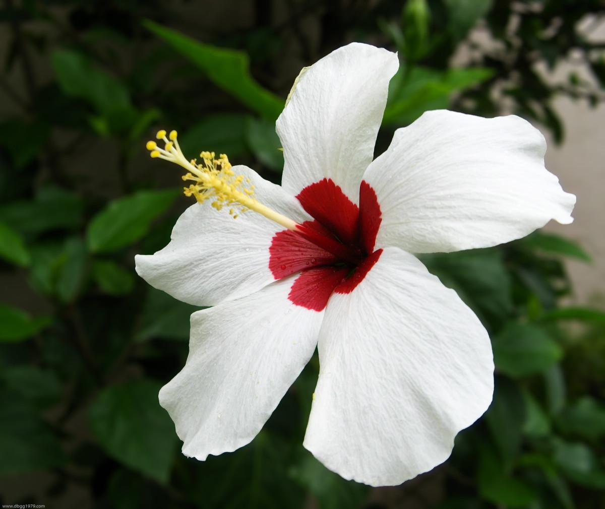 Bicoloured  Hibiscus Flower