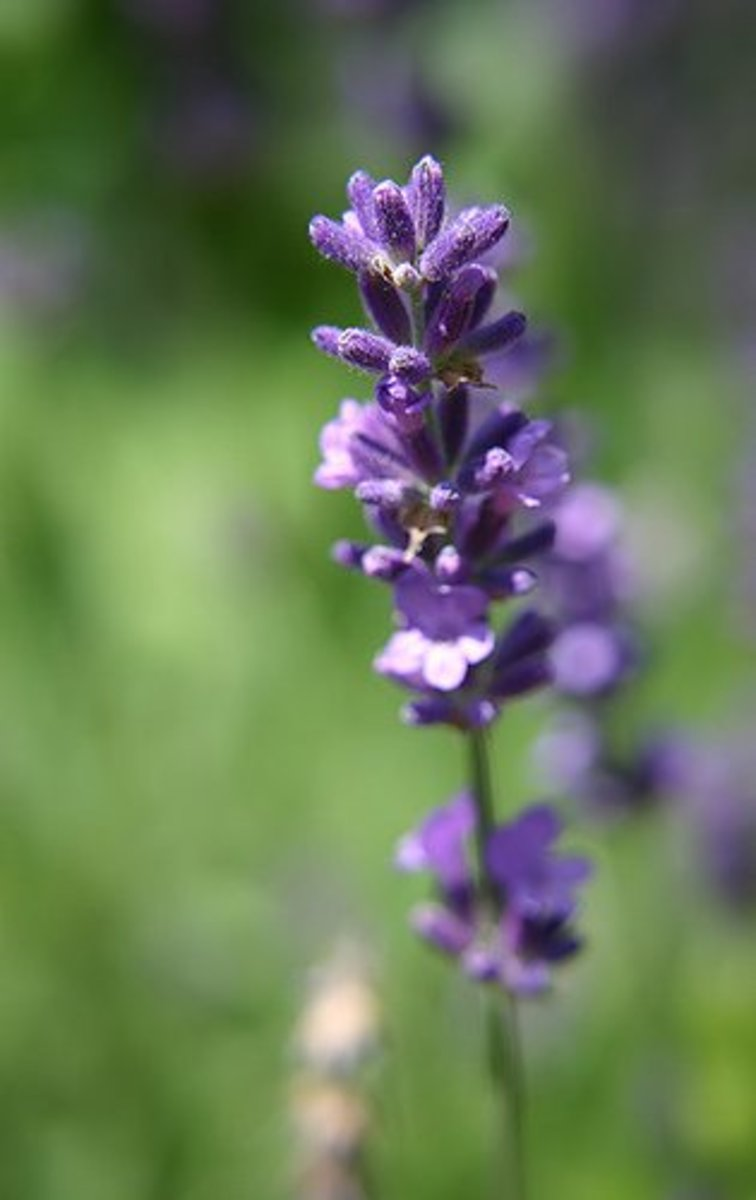 Lavender oil may be extracted from the buds or spikes.