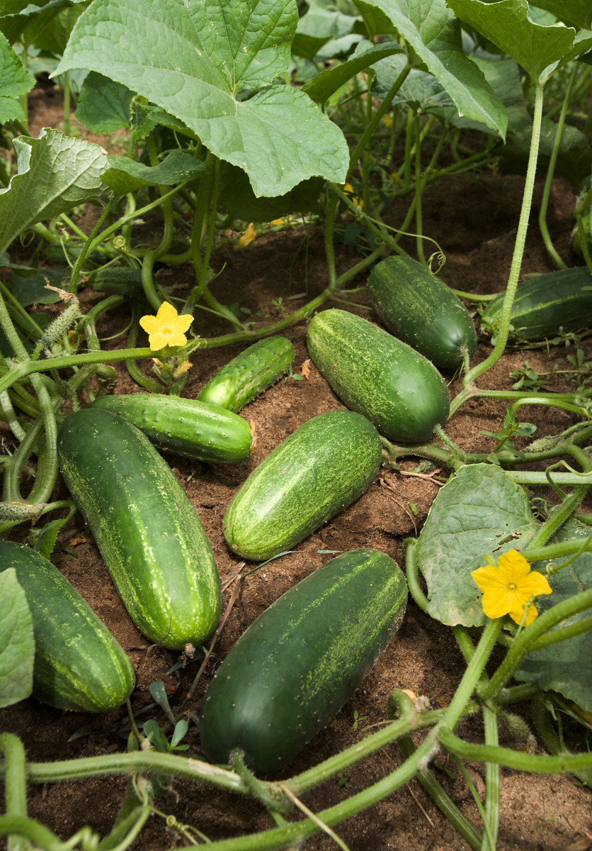 Cucumbers developing on lateral branches on the plant are typical of commercially grown cucumbers. The more branches the higher the yield of cucumbers.