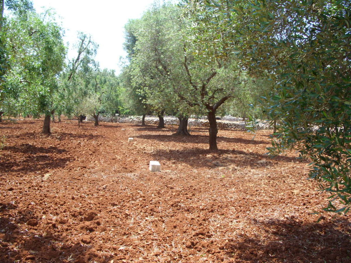 Our olive trees in Italy. Being able to grow our own olives for skin care products is a bonus.