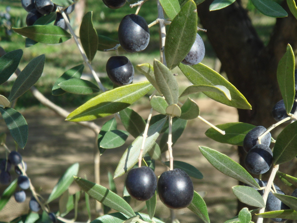 Spain, Italy and Greece are the biggest olive producers in the world accounting for over 75% of the world olive oil production.