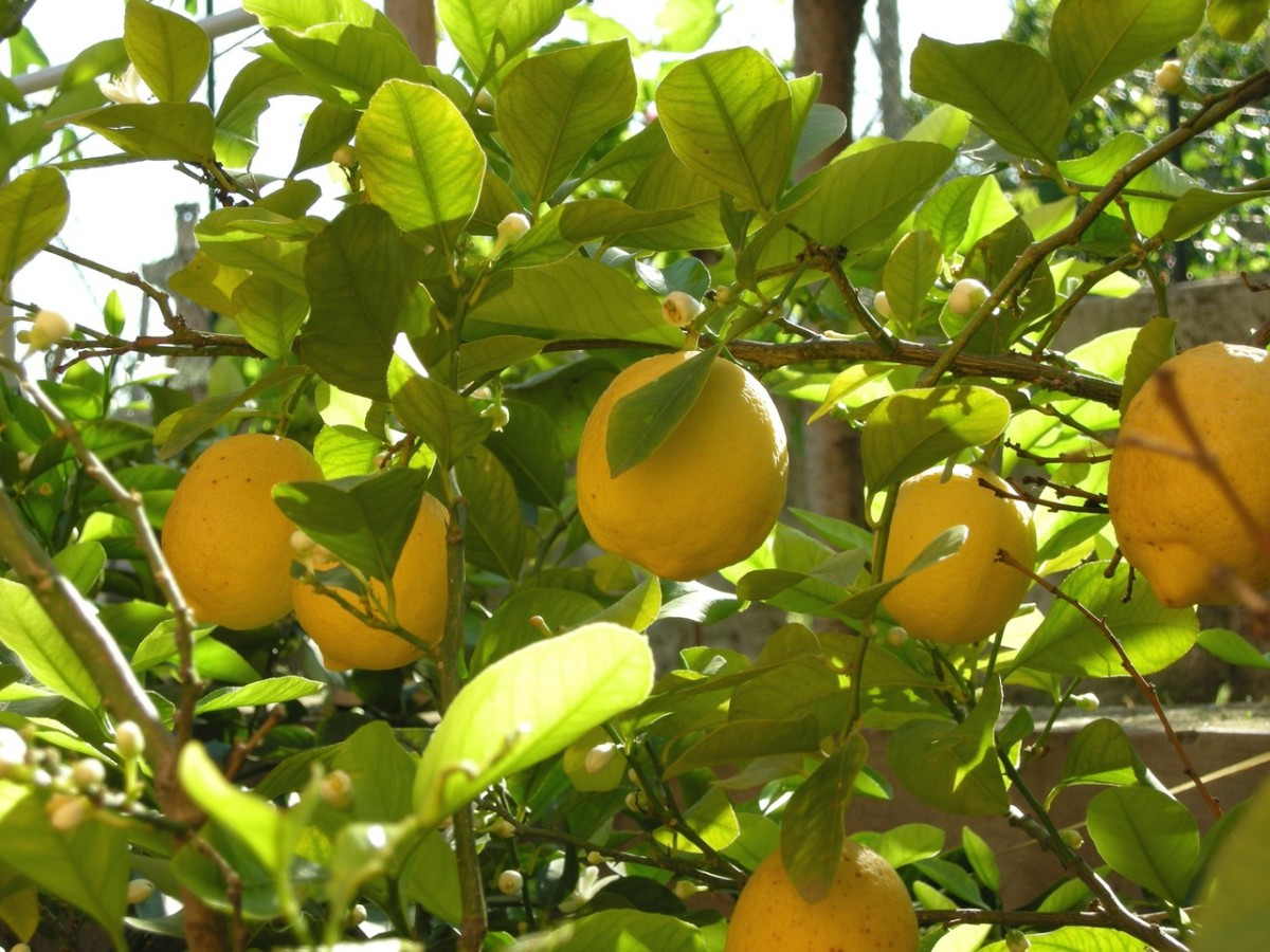 you cannot beat the citrus fresh fragrance of lemons.