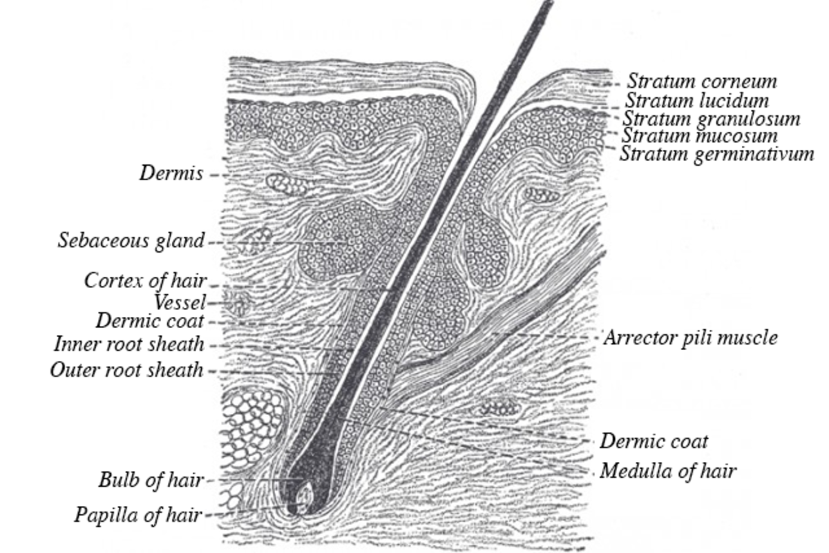 Cross section of hair follicle. The cortex is the part of the hair that stores the melanin, which is what makes up the color of your hair. The rest of the hair is largely made up of keratin.