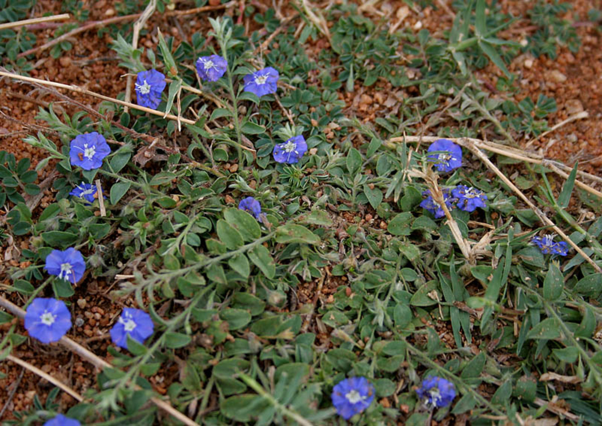 The oil from dwarf morning glory (Evolvulus alsinoides) can be used to stimulate hair growth.