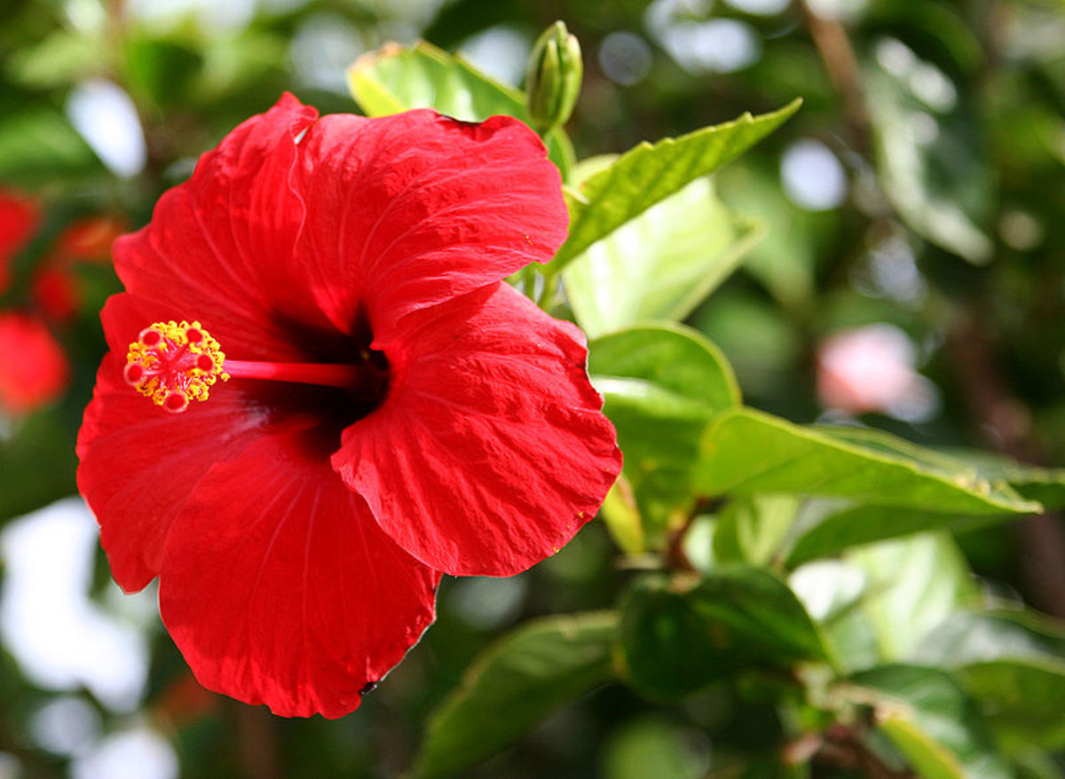 The Chinese hibiscus is used to treat dandruff and turn hair black.
