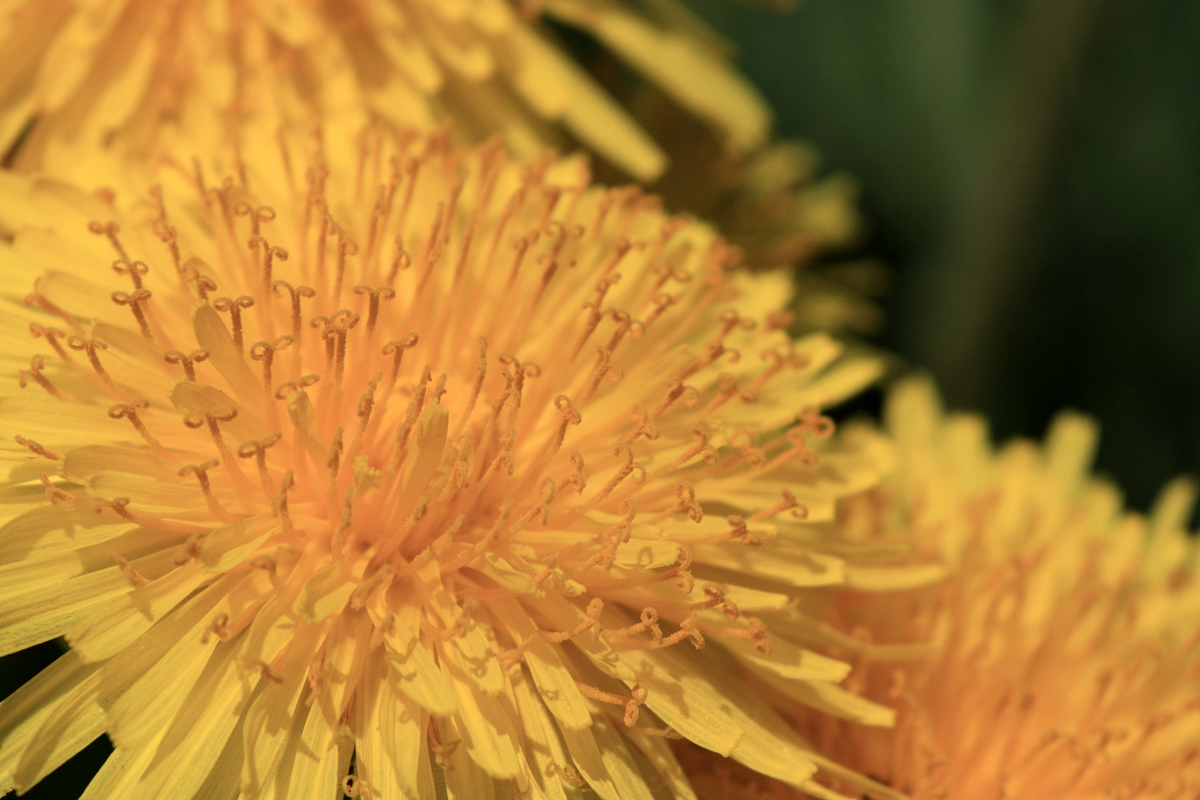The entire dandelion plant is useful—from the flower petals all the way down to the root.