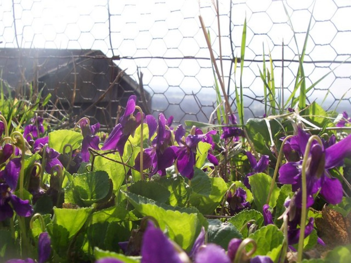 Violet flowers multiply and spread rapidly.