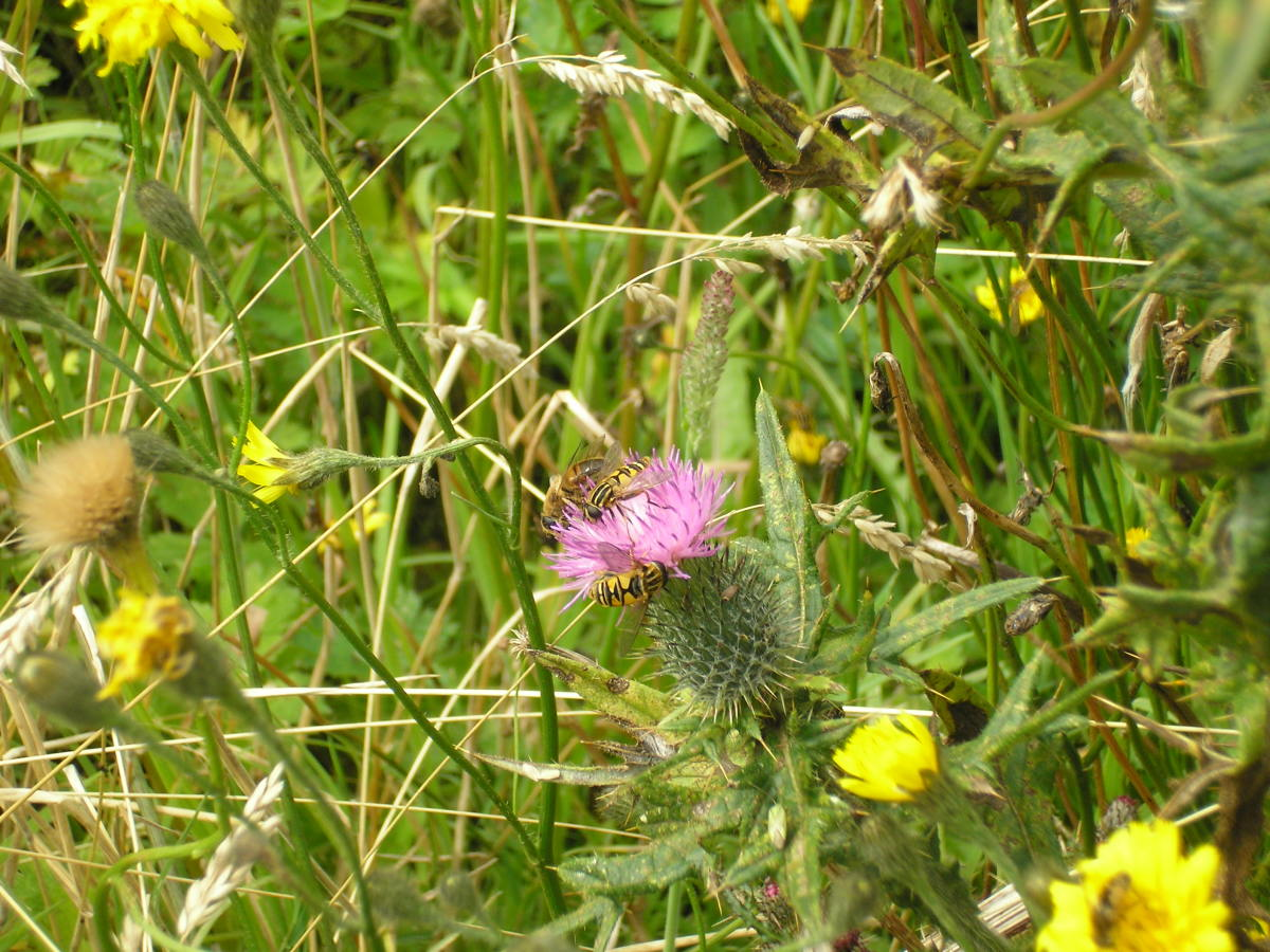 the bees are always welcome in my garden of thistles, dandelions, fuchsia, roses, poppies and many unidentified wildflowers.