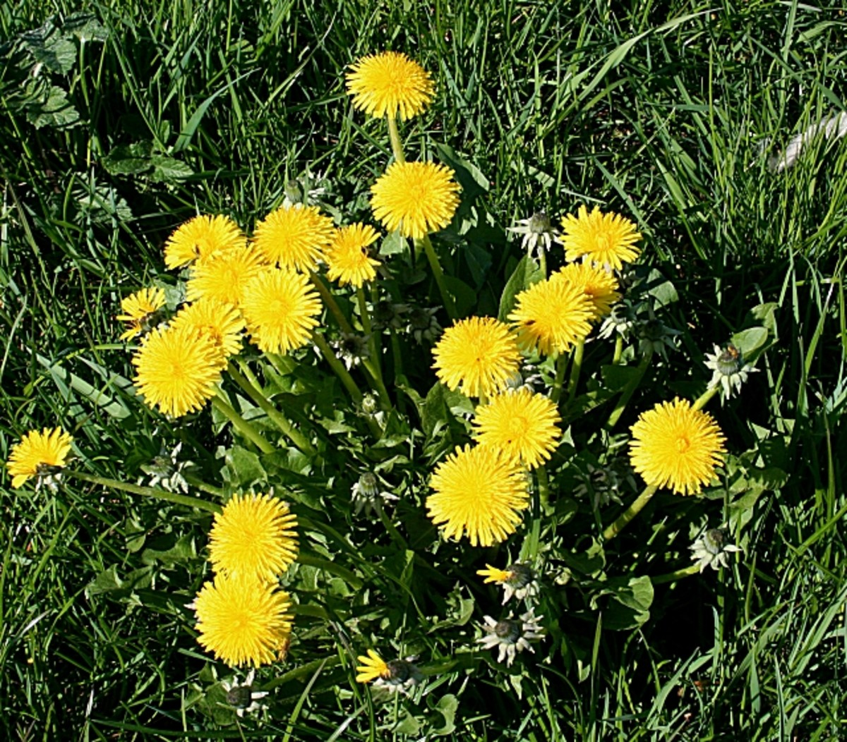 A cluster of dandelions—one of the most beneficial plants you can take and include in your diet.