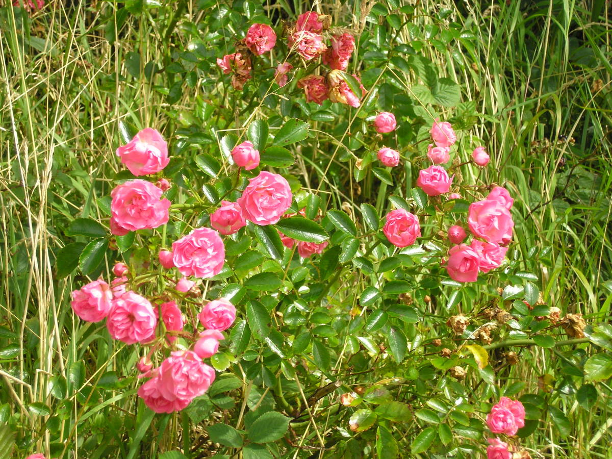 wild roses growing in our hedge.