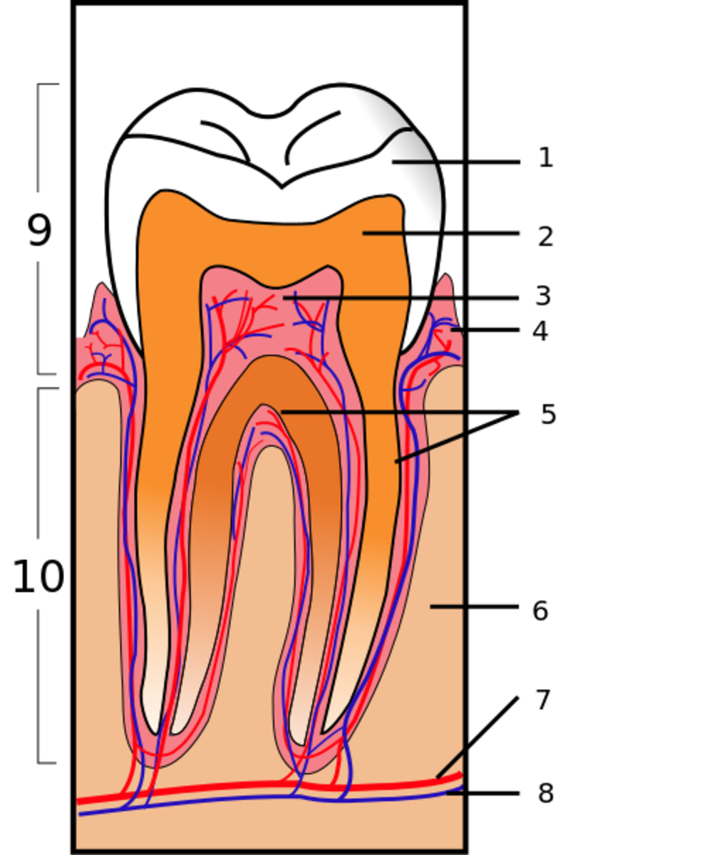 1. Enamel, 2. Dentine, 3. Pulp, 4. Gum, 5. Cementum, 6. Bone, 7. Blood vessel, 8. Nerve. 9. Crown, 10. Root.