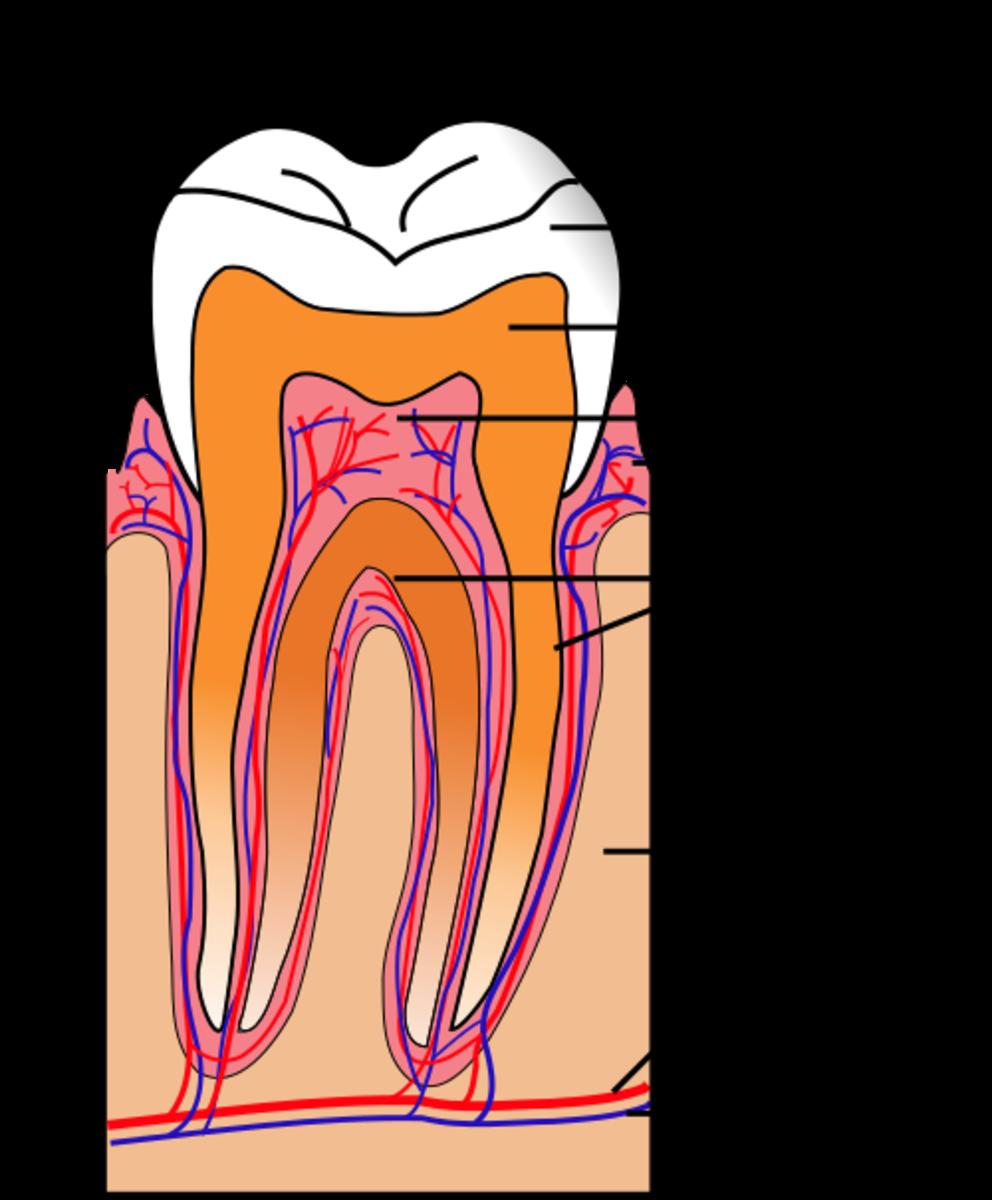 1. Enamel, 2. Dentine, 3. Pulp, 4. Gum, 5. Cementum, 6. Bone, 7. Blood vessel, 8. Nerve. 9. Crown, 10. Root.