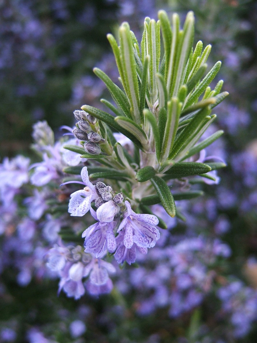 Flowering rosemary, which is a member of the mint family.