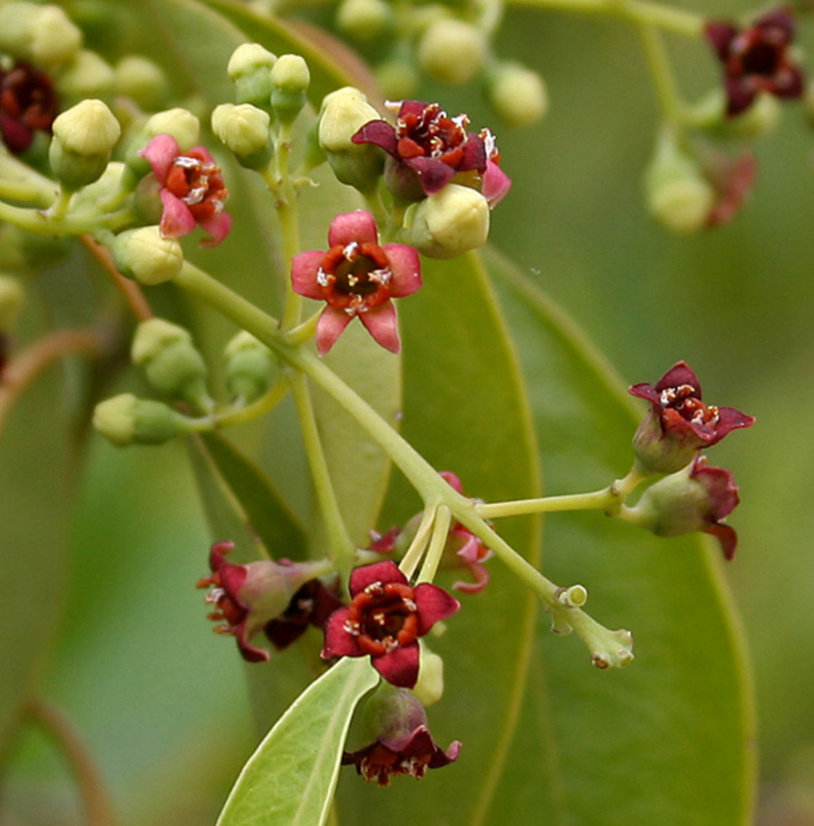 White or East Indian Sandalwood or Chandan (Santalum album) produces Sandalwood essential oil.