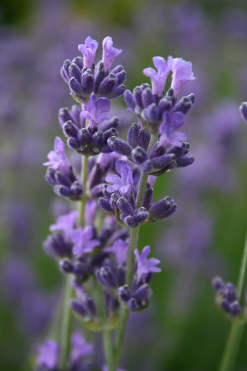 lavender makes a great addition to cologne for it's fragrance and therapeutic benefits.