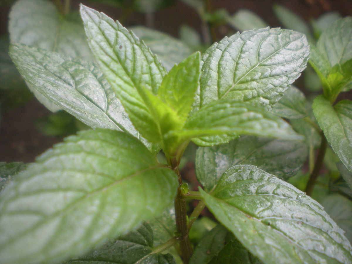 Peppermint can easily be grown in a container in the kitchen.