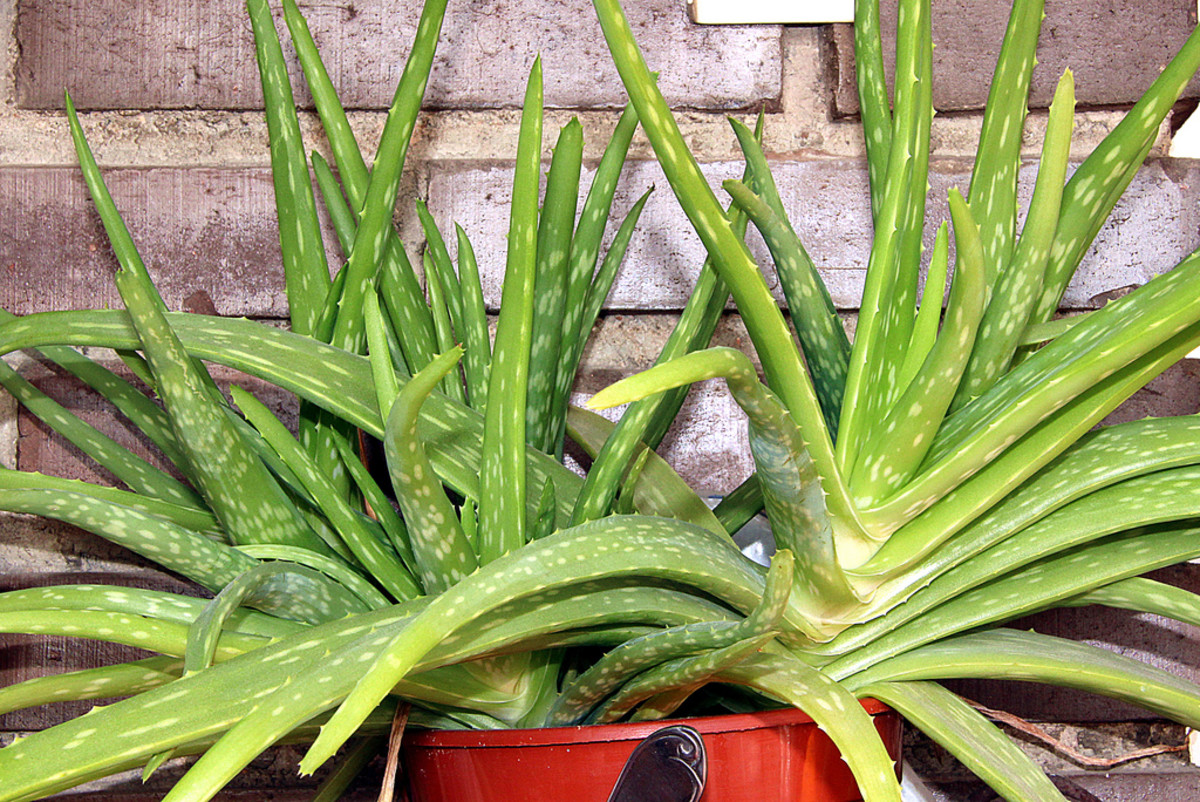Aloe vera offers an abundance of uses—all from one plant.