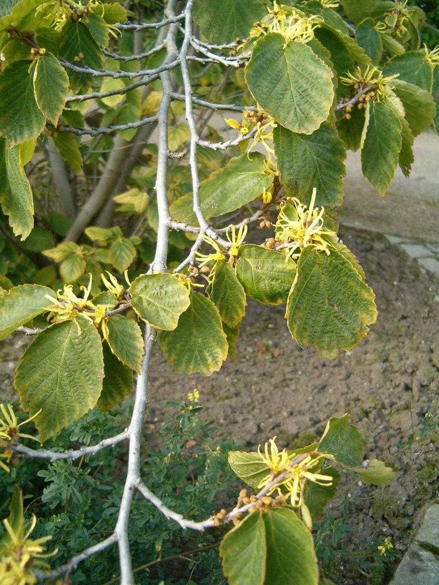 Hamamelis virginiana is a species of witch hazel that produces the witch hazel astringent.