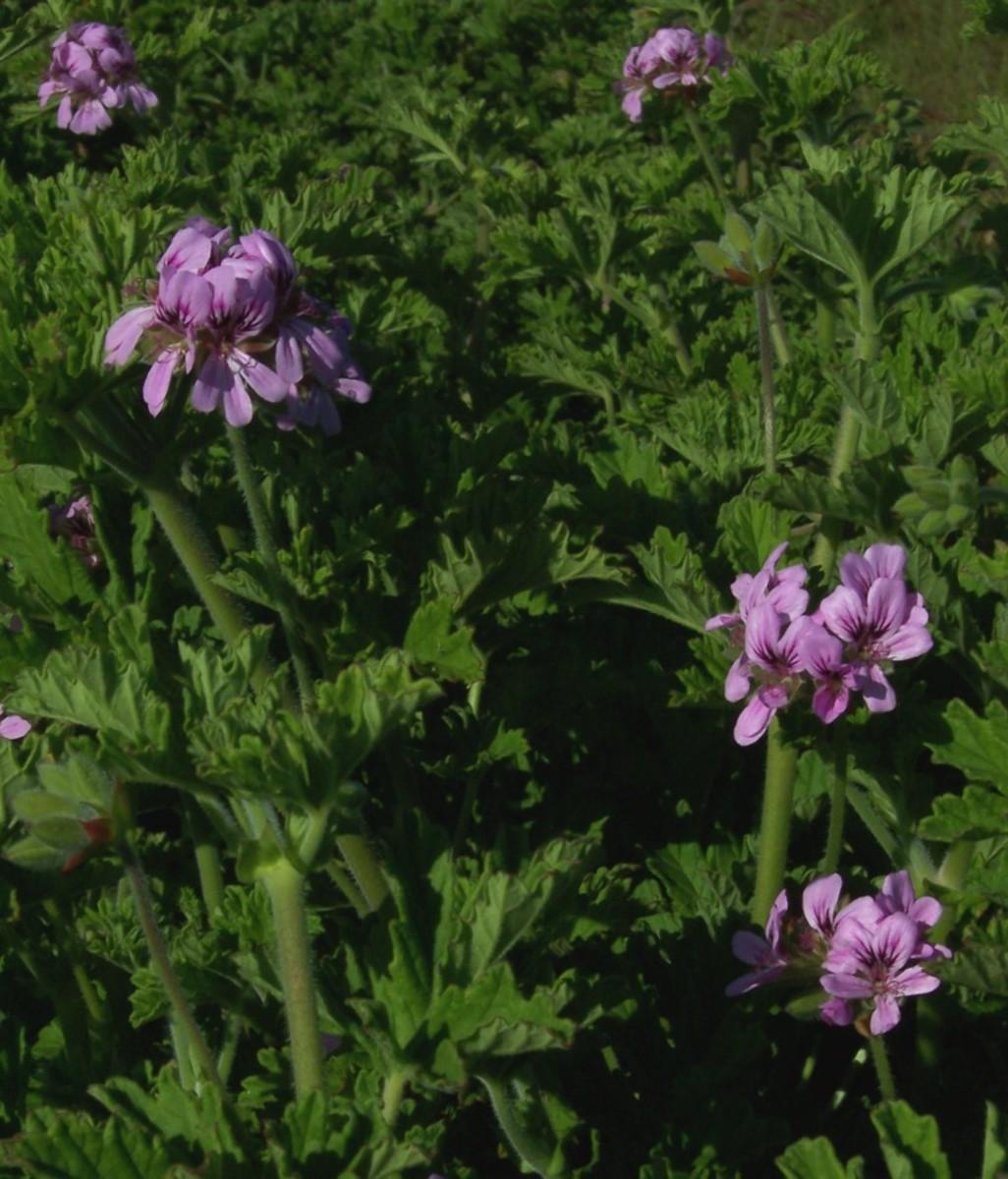 Rose Geranium (Pelargonium graveolens) one of ten species of geranium suitable for the production of essential oil.