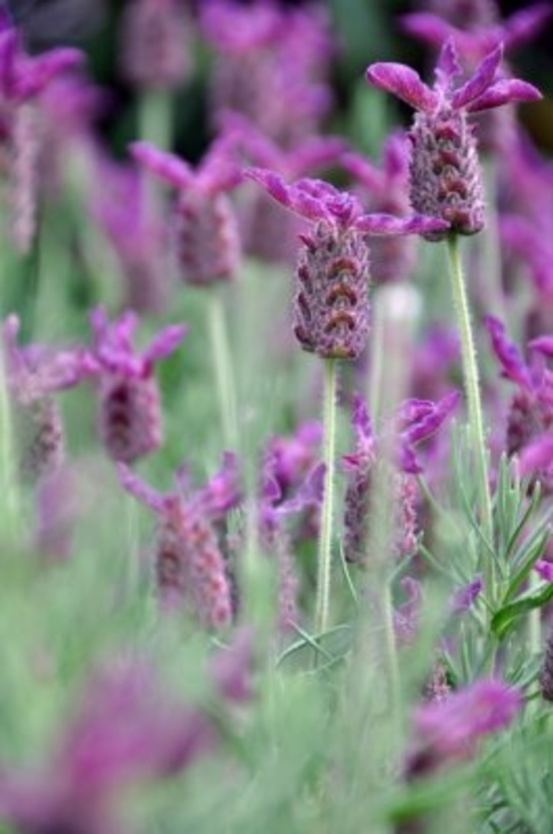 Lavender is one of the best plants to have at home thanks to its versatility and many benefits.
