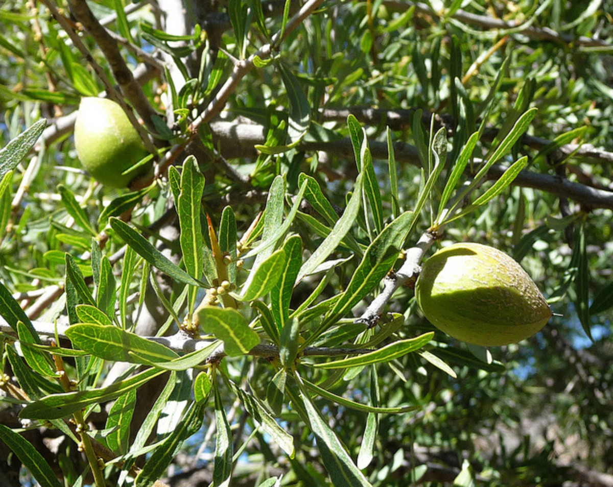 Argan fruit