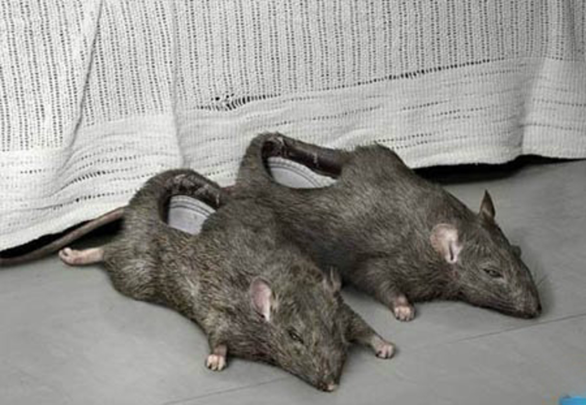 If you want to put dead rats on your feet, it's your own business. But some people might think you are deranged.