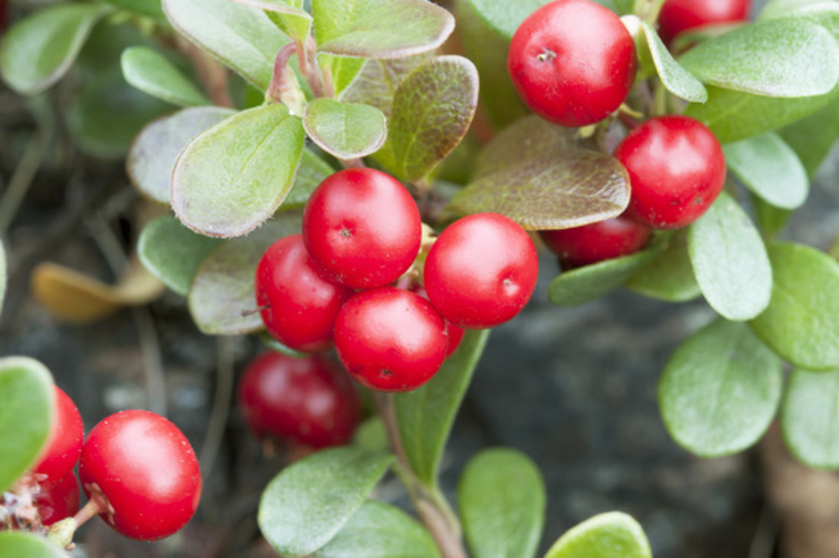 Bearberry extract comes from the leaves of the plant, not the fruit!