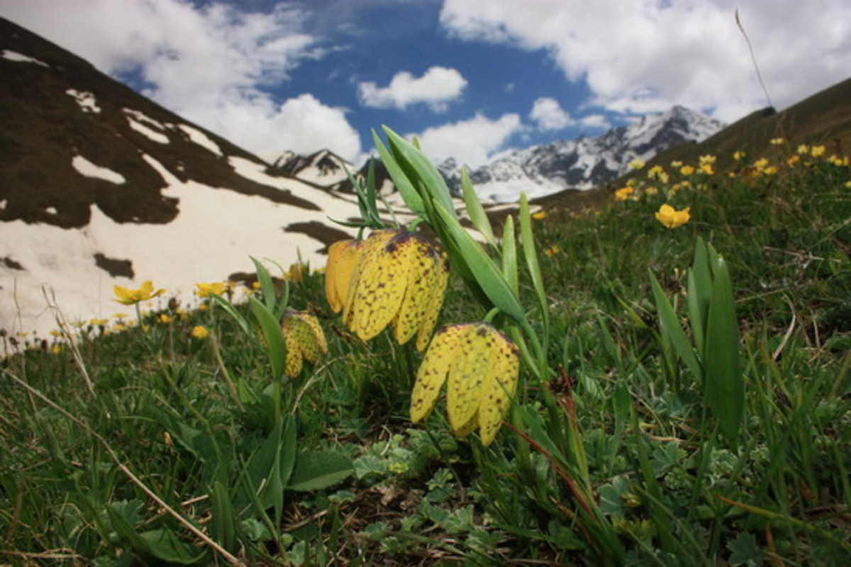 Gigawhite is formulated from 7 Alpine plants