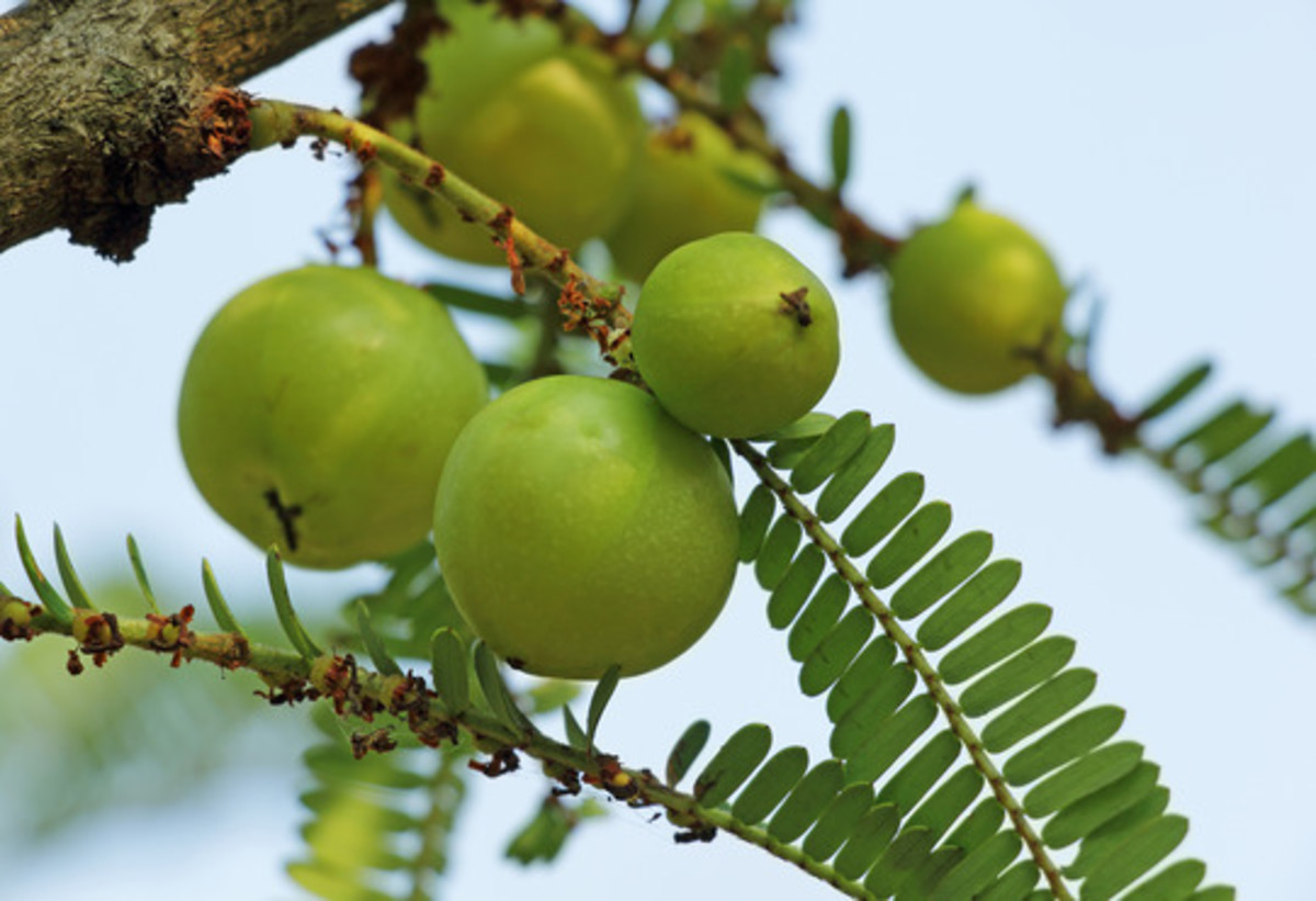 Indian Gooseberry - Emblica extract