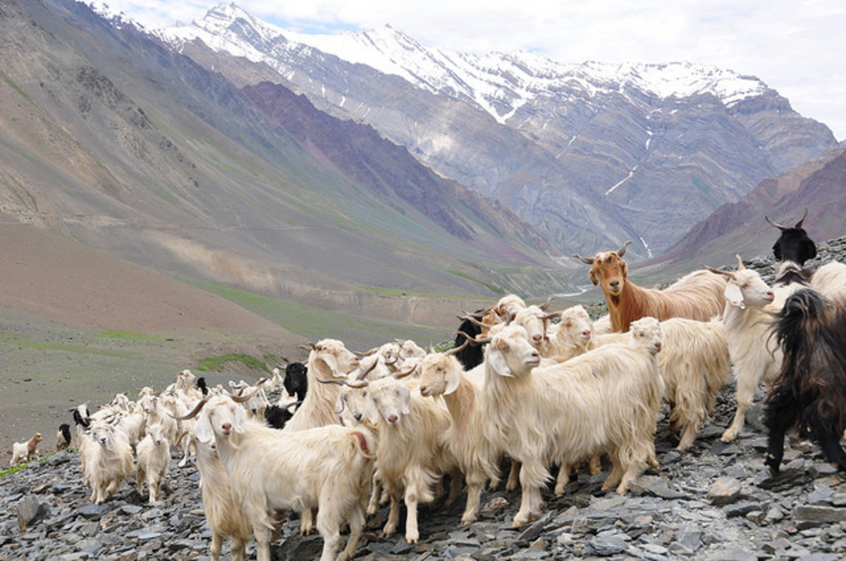 Cashmere goat, Himalaya, Himachal Pradesh, India