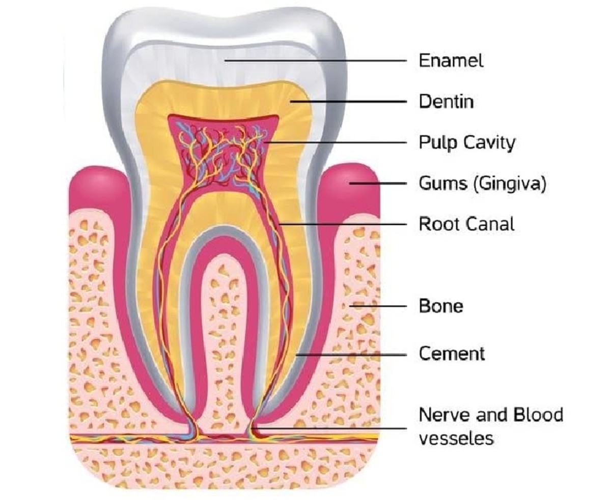 Anatomy of a human tooth showing how gums and enamel protect sensitive nerves.