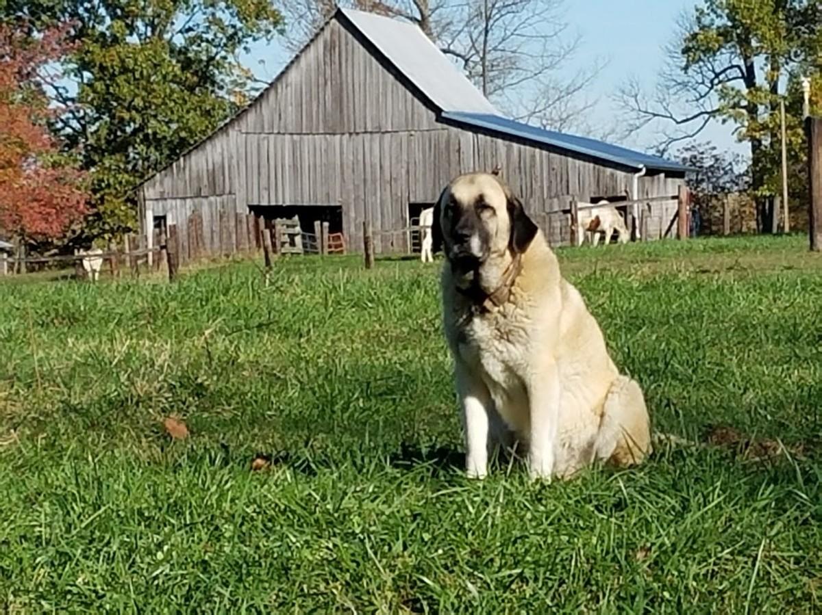 My old dog Hannah, guarding the farm.