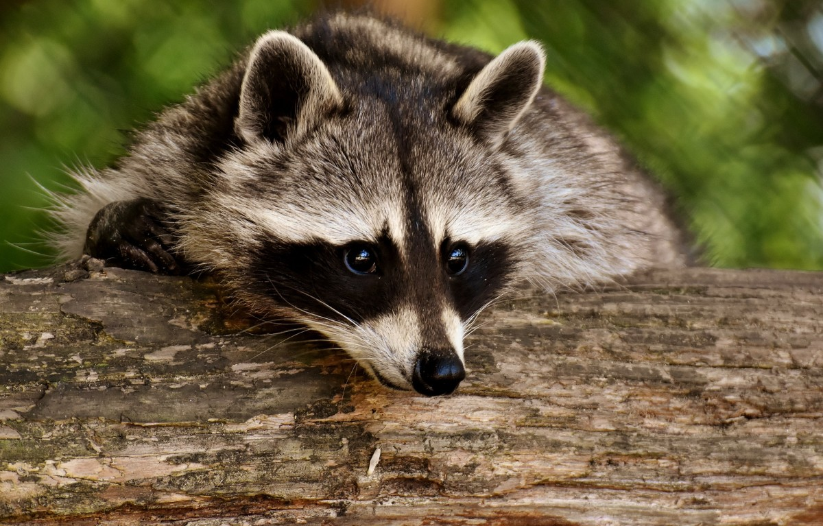 A fully grown raccoon