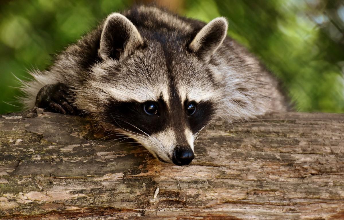 A fully grown raccoon
