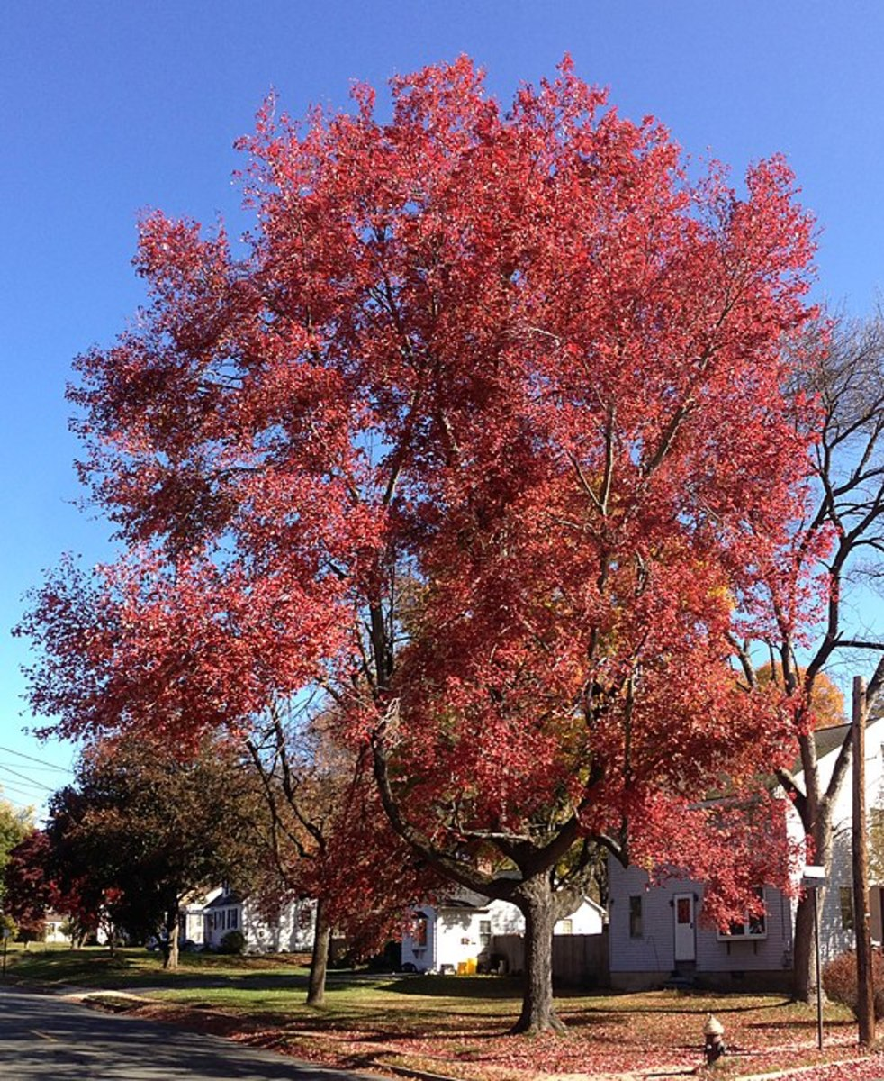 Interesting Facts About Maple Trees - Description and Uses