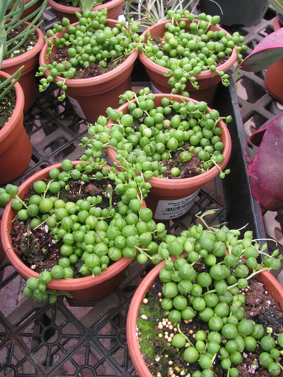How to Grow String of Pearls Indoors or Outdoors