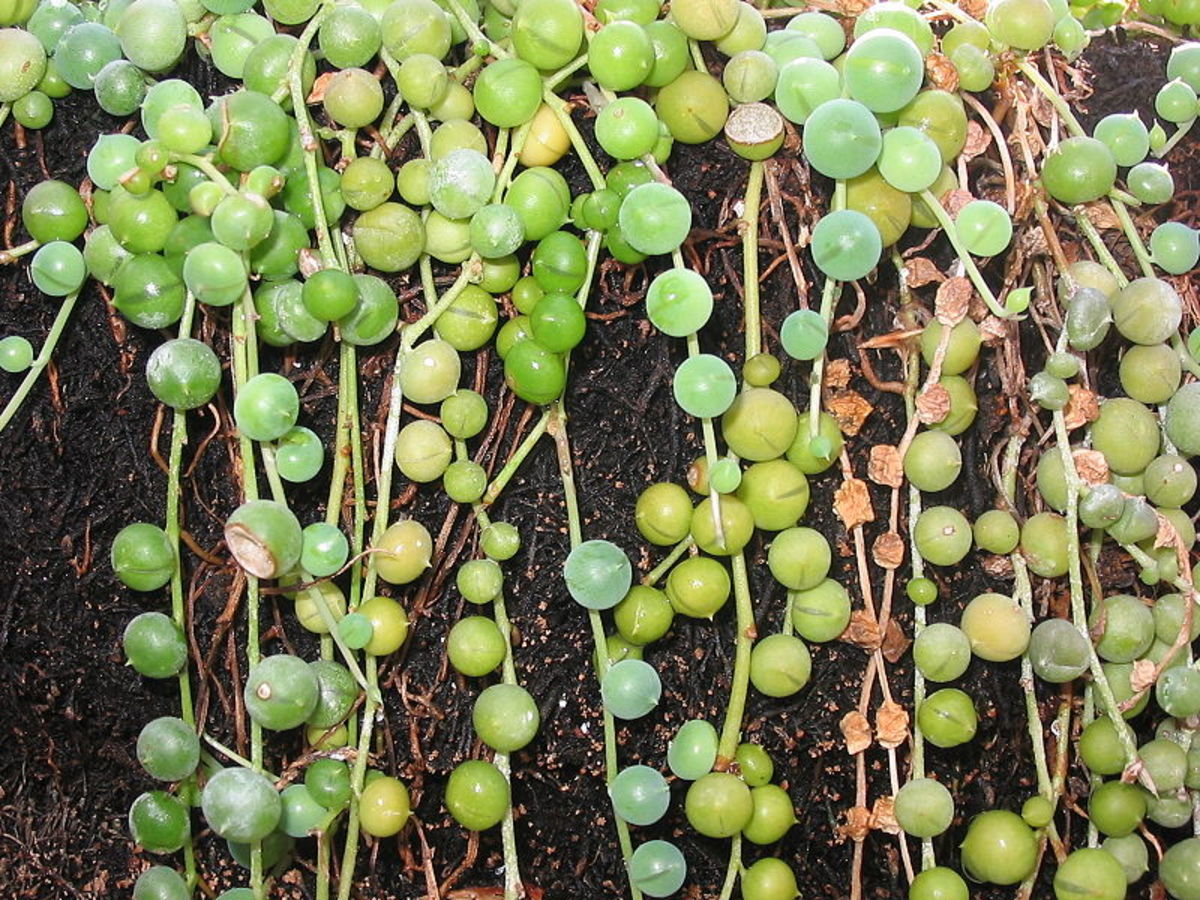 When grown in the ground, the stems root and form mats.