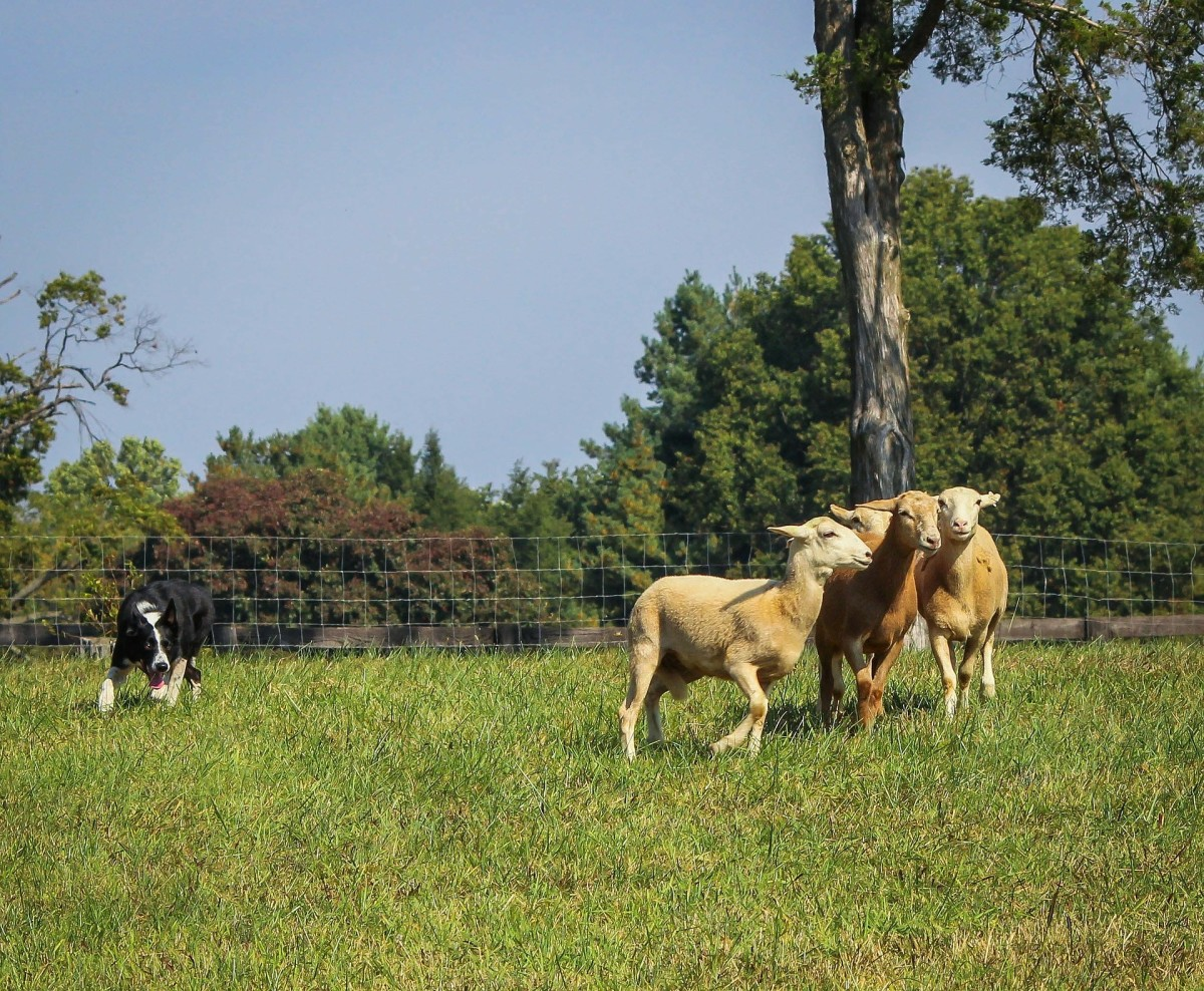 Tips for Training a Herd Dog