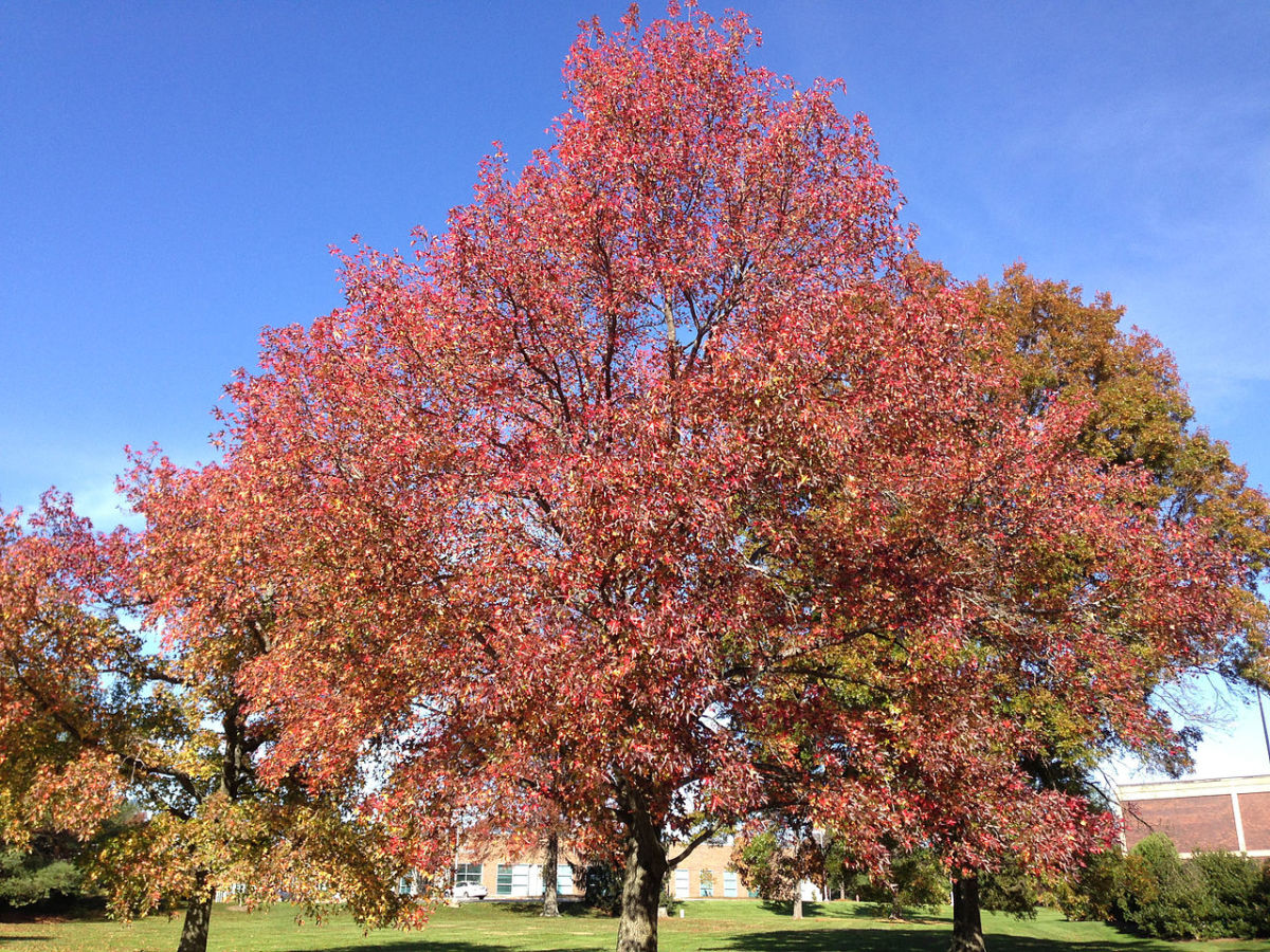 A sweet gum tree in the fall