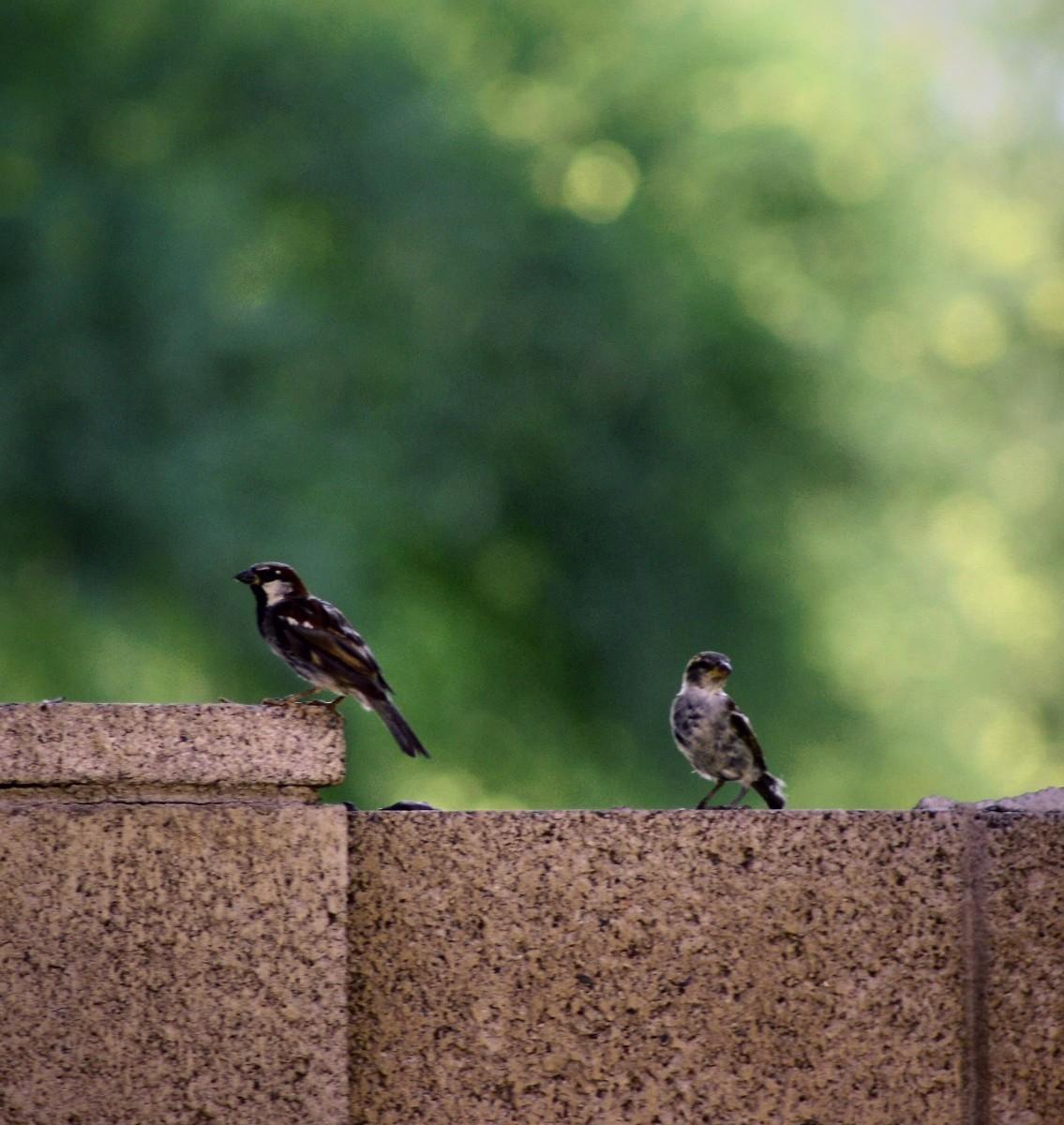 House Sparrow on The Wall