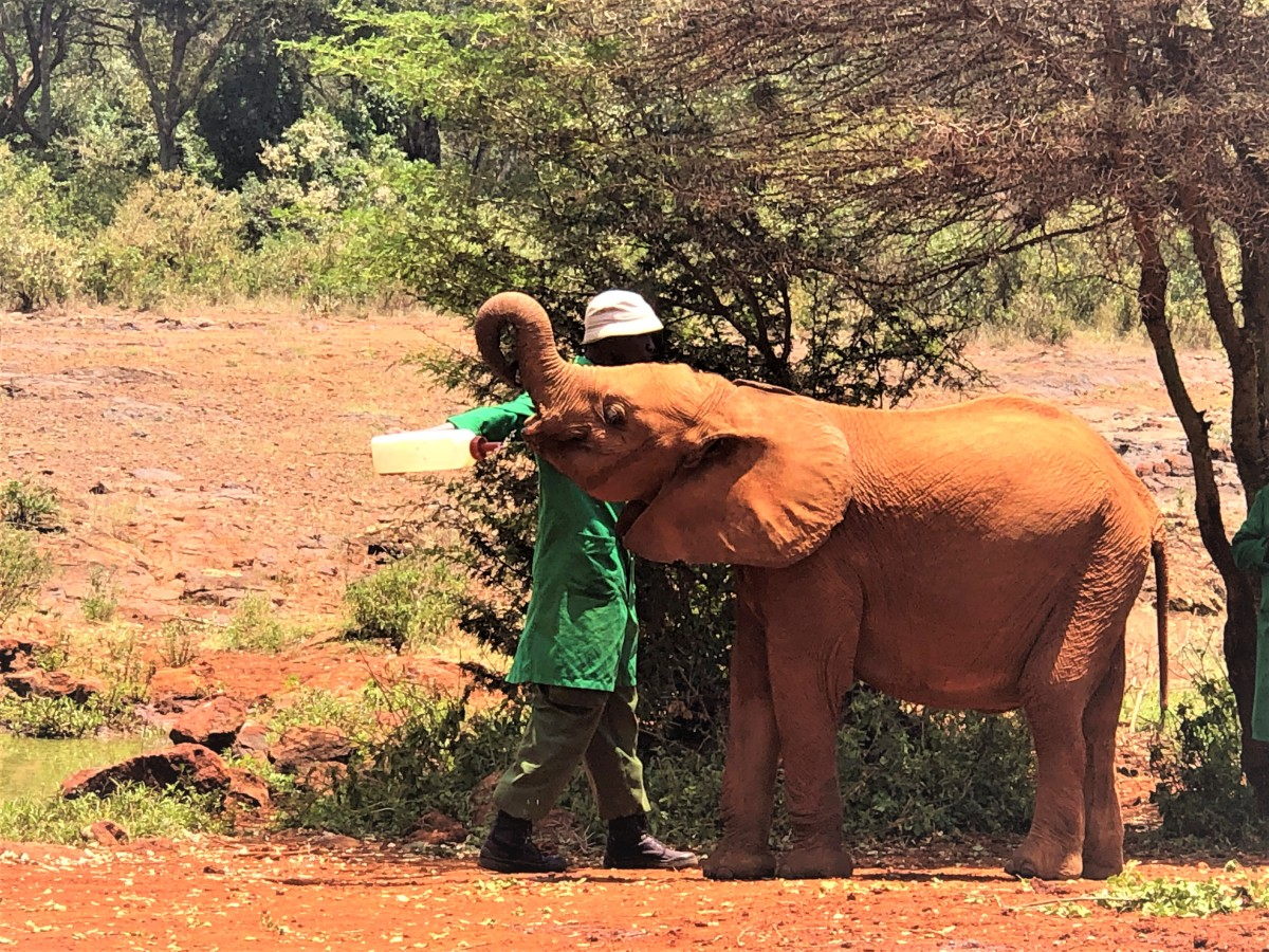 How and Why to Visit the SWT Elephant Orphanage in Nairobi