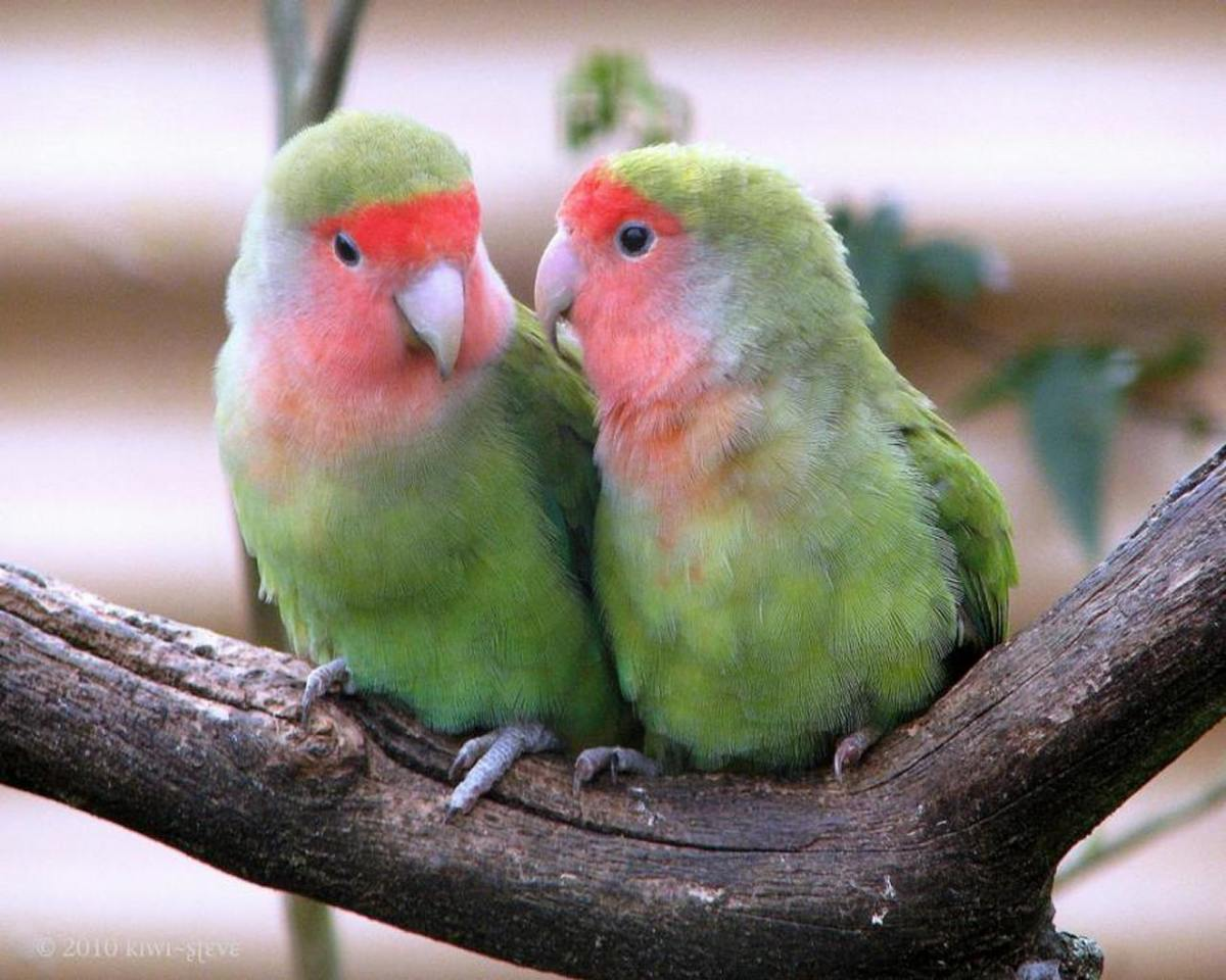 Lovebirds showing their affection.