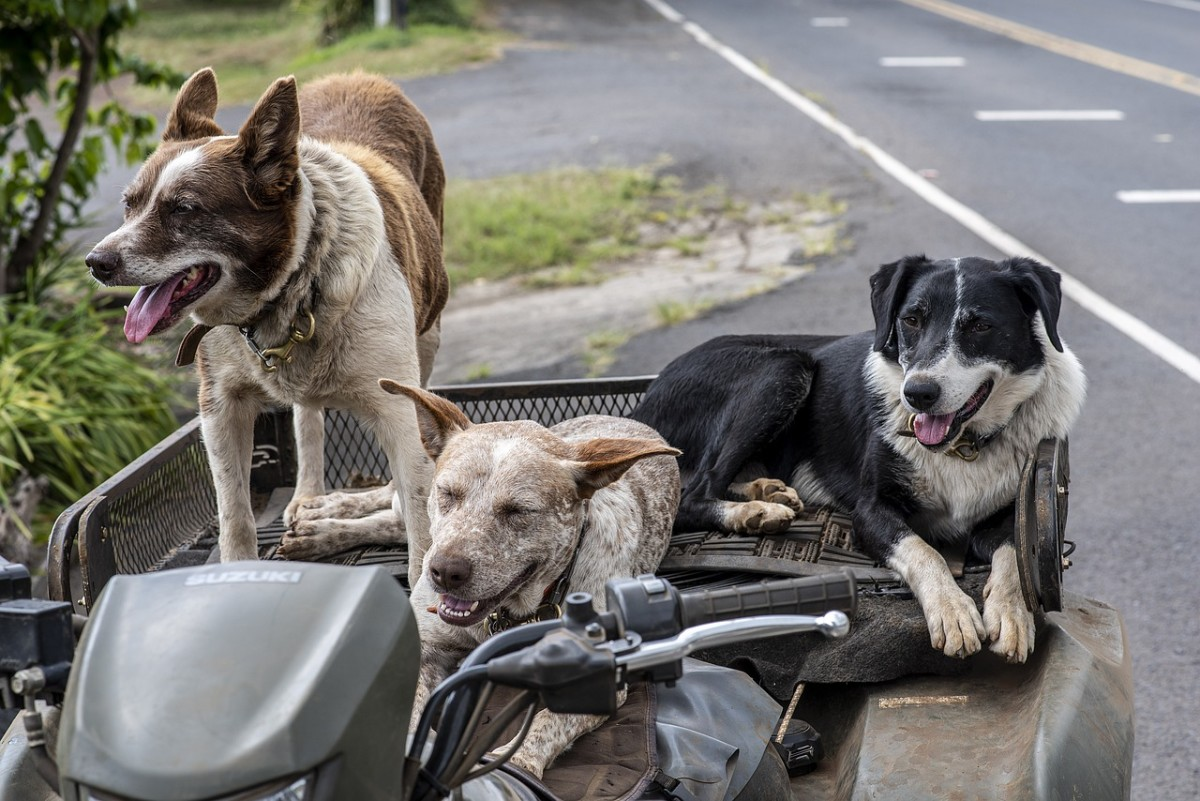 Dogs in the back of an ATV rack