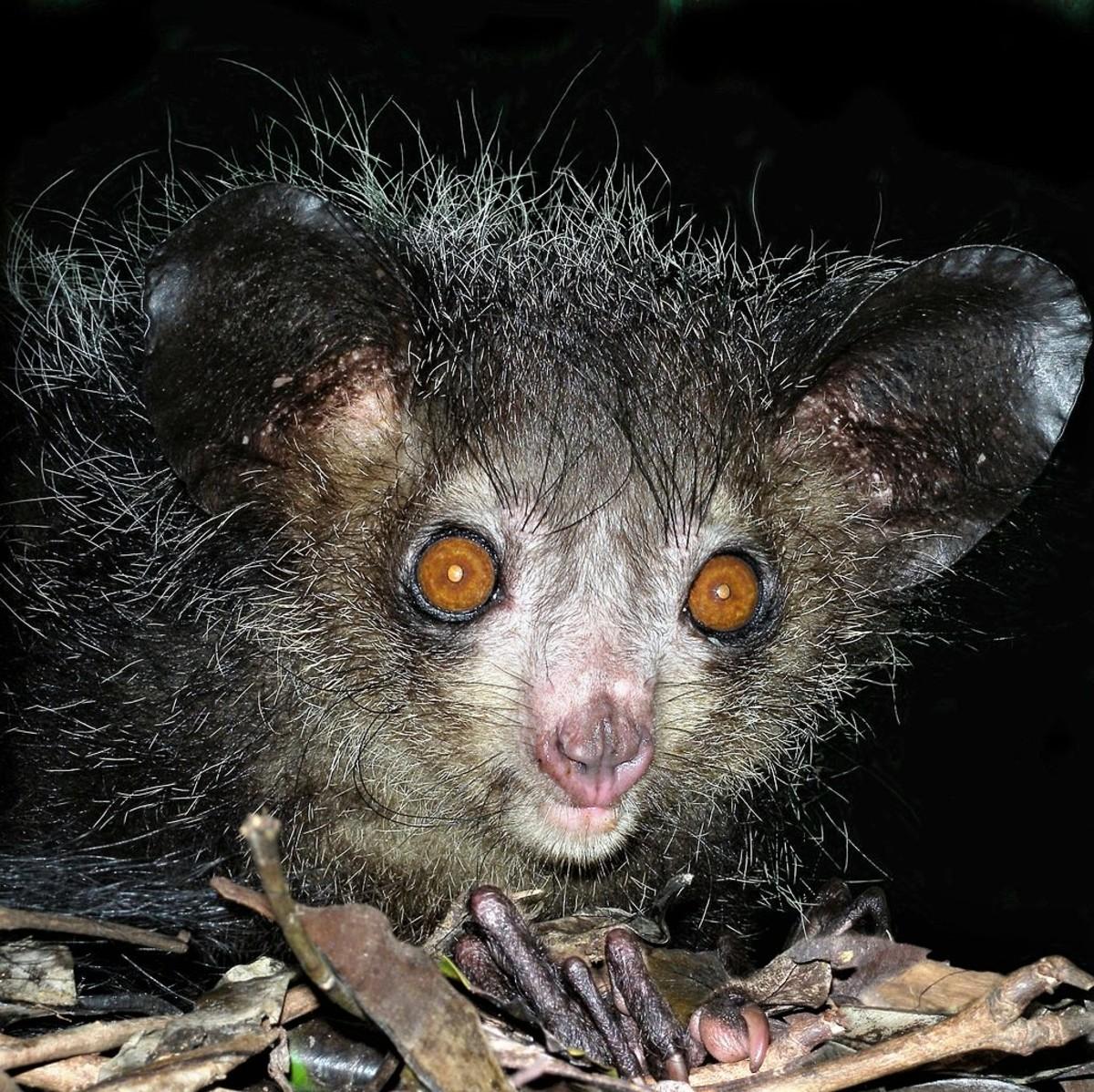 An aye-aye in a zoo in Madagascar