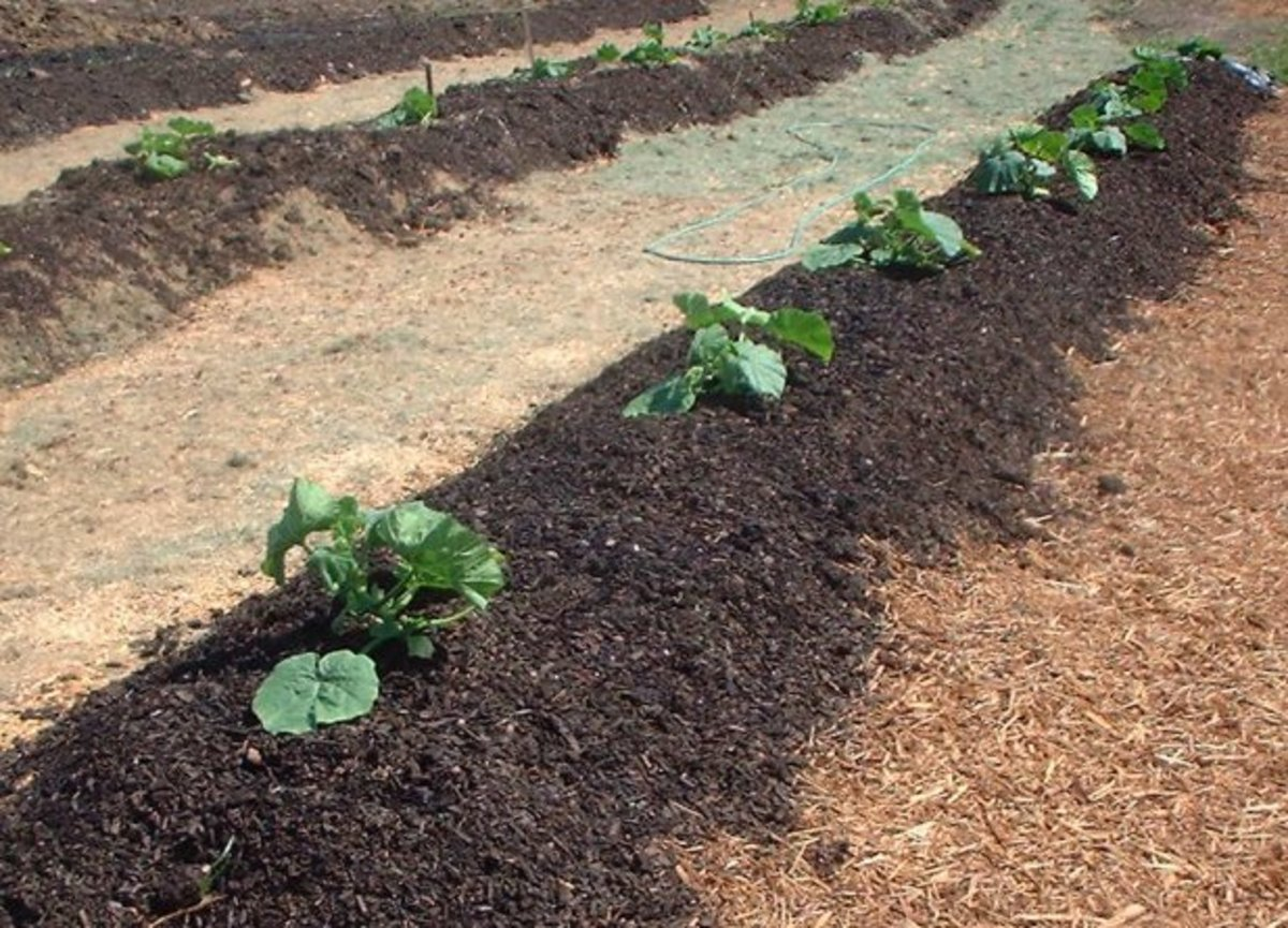 Pumpkin seedlings planted out on windrows of composted biosolids at community compost education garden - gold and silver can be found in sludge from biosolids. 60% of sludge is recovered and used for fertilizers.