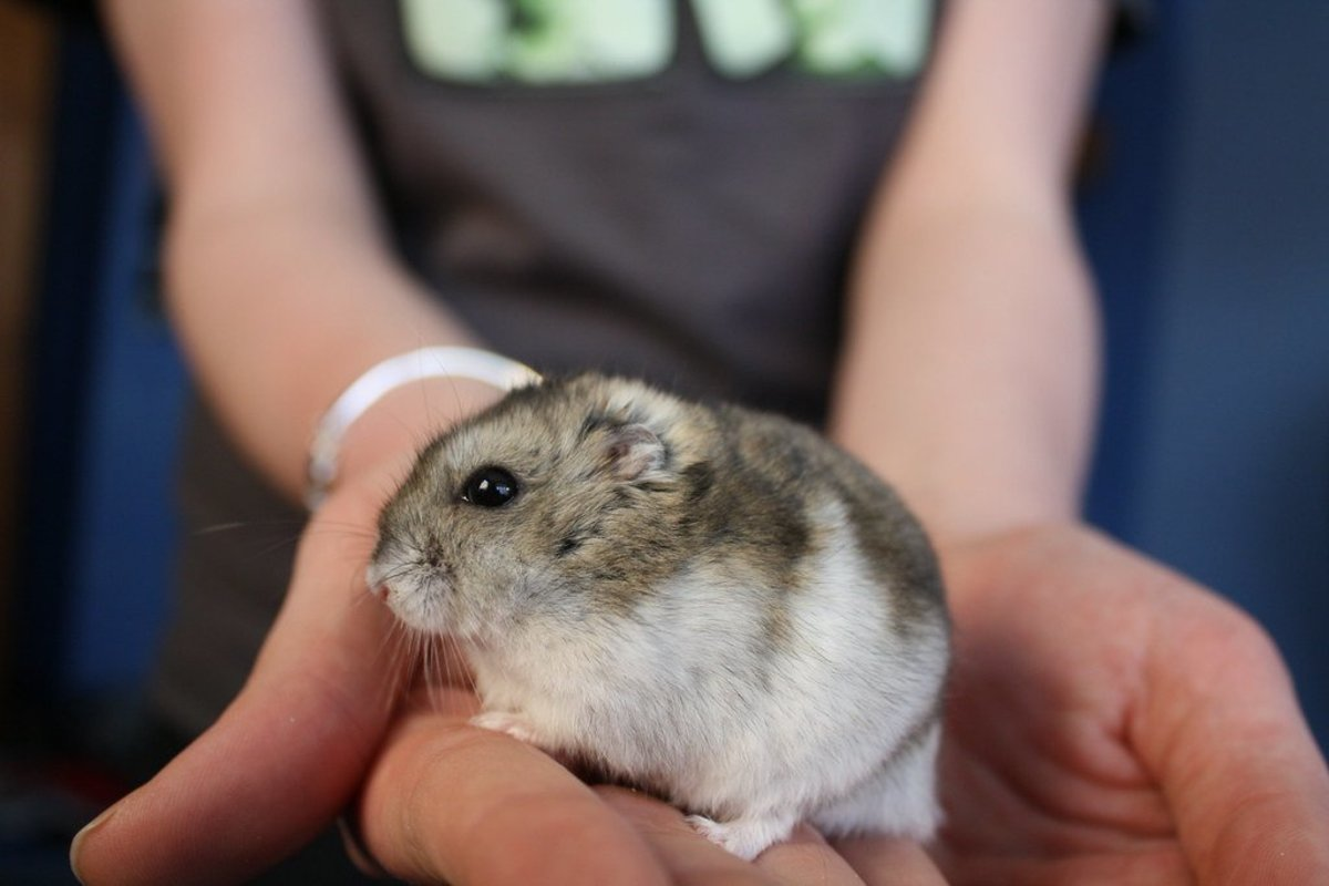 Like many animals, hamsters are notorious for hiding their illness until they are very sick.