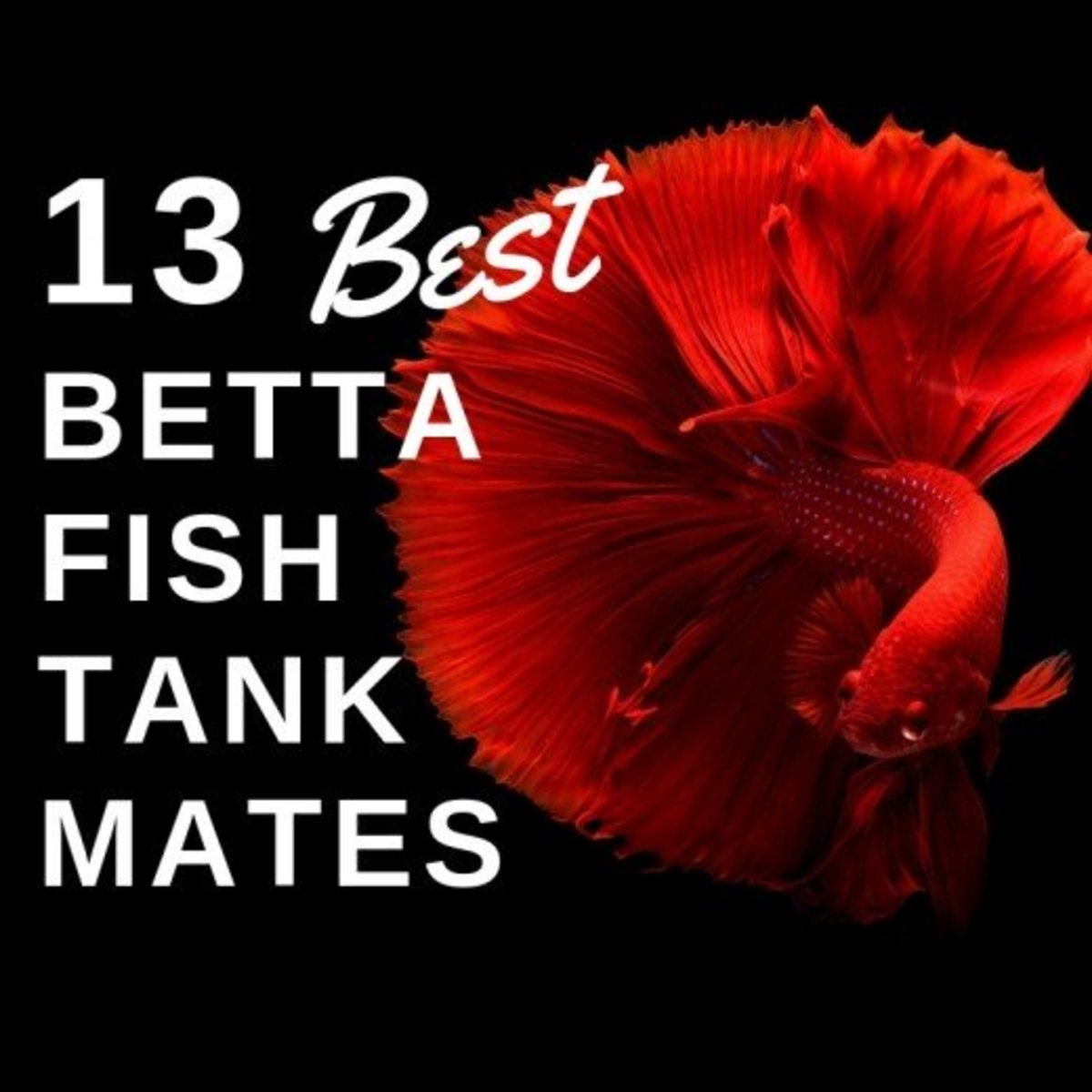 13 Safe and Compatible Betta Fish Tank Mates